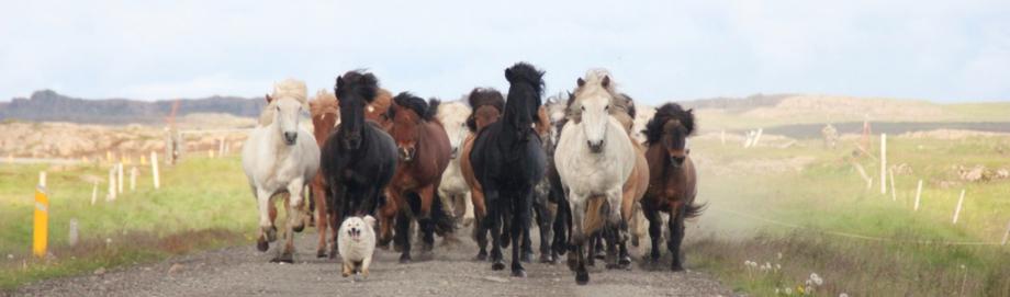Herde in Island